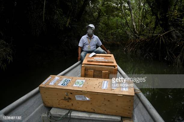 Biologist of the regional environmental entity CVC, navigates with boxes containing turtles and two Central American agoutis to be released in a...