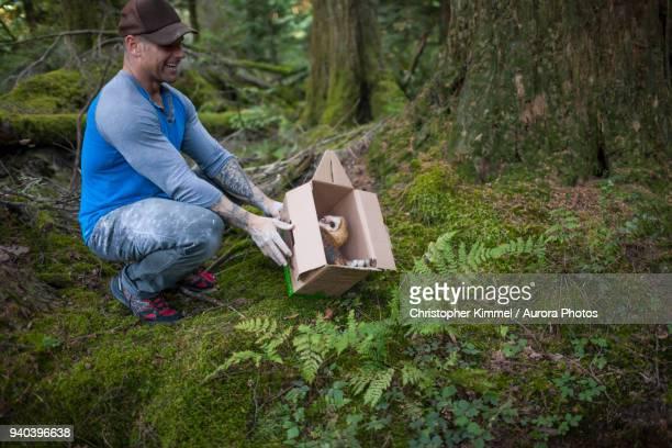 Biologist releasing barn owl (Tyto alba) back into wild, Chilliwack, British Columbia, Canada