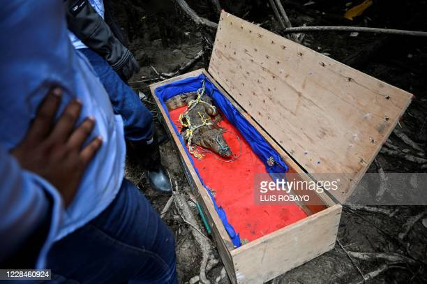 Biologists of the regional environmental entity CVC, prepare to release a small crocodile in a rural area of Buenaventura, Colombia, on September 11...