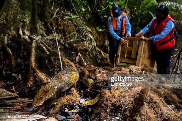 Biologists of the regional environmental entity CVC, release two Central American agoutis in a rural area of Buenaventura, Colombia, on September 11...