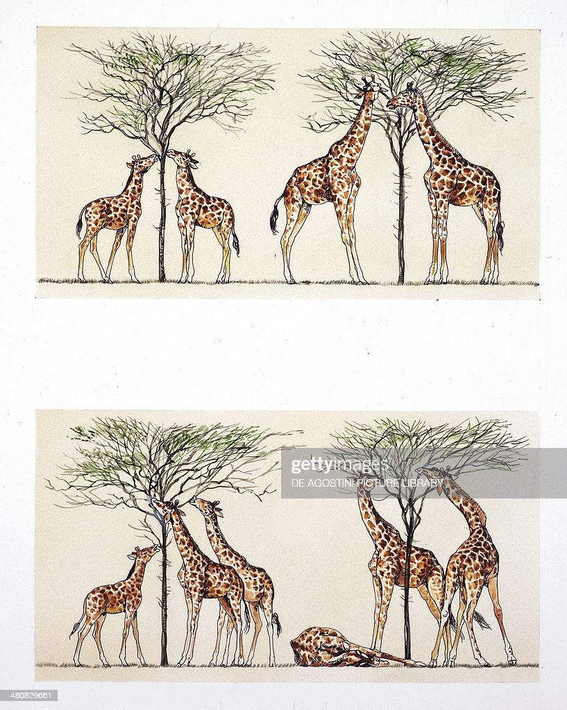 Biology - Evolutionary theory: theories of Jean-Baptiste Lamarck and of Charles Darwin. Illustration. : Fotografía de noticias