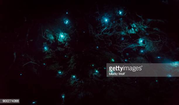bioluminescence, luminous glowworm, maggot of fungus gnats (arachnocampa luminosa) in a cave, endemic to new zealand, leith valley, dunedin, new zealand - maggot stock photos and pictures