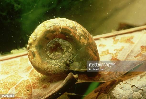biomphalaria pfeifferi: schistosoma mansoni  vector. x 2.  chiweshe, zimbabwe