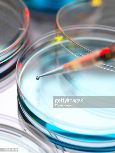 biotechnology research, scientist pipetting sample into a petri dish. - healthcare and medicine stock pictures, royalty-free photos & images