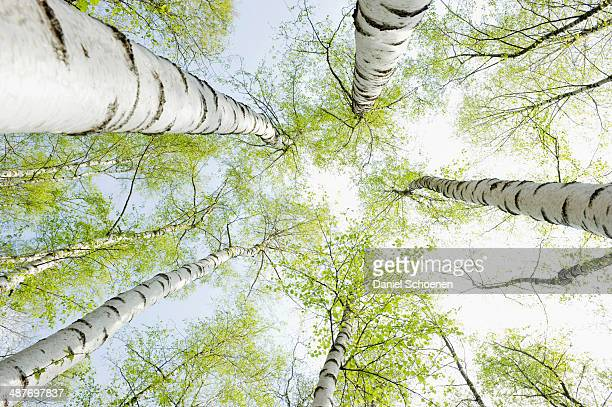 Birch forest in spring, from below, North Rhine-Westphalia, Germany