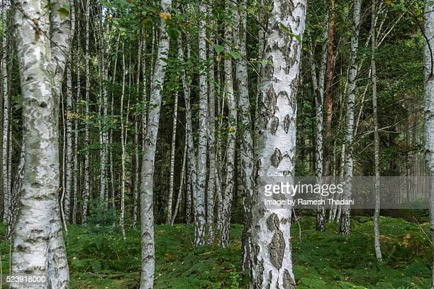 birch forest - wald stock pictures, royalty-free photos & images