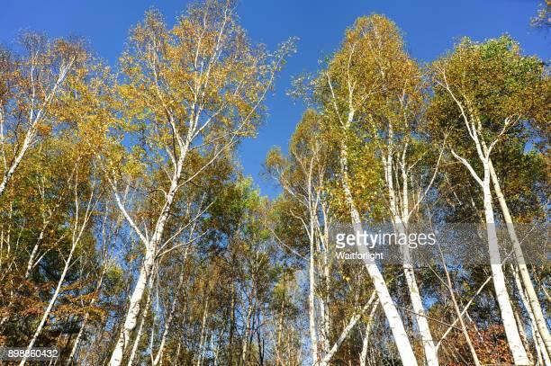 birch forest - grove imagens e fotografias de stock