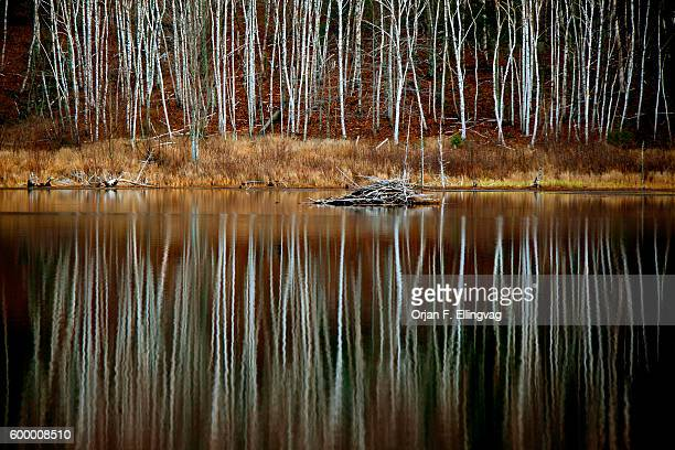 Birch forest reflecting in a lake in Camden Hills State Park | Location Camden Hills Maine USA