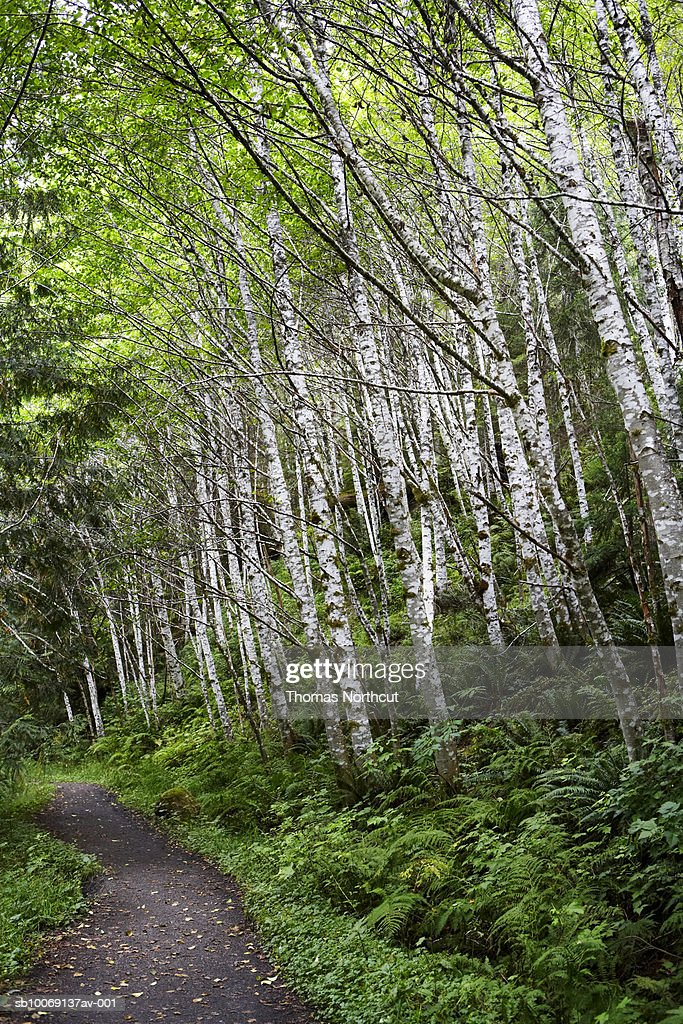 Birch forest with ferns : Stockfoto