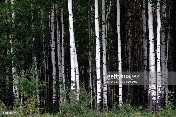 Birch Forest Wood Buffalo National Park Northwest Territories Canada
