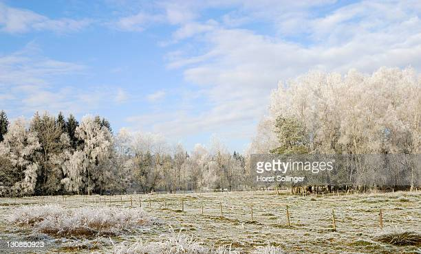 Birch grove and cattle pasture covered with hoarfrost crystals Nicklheim Germany