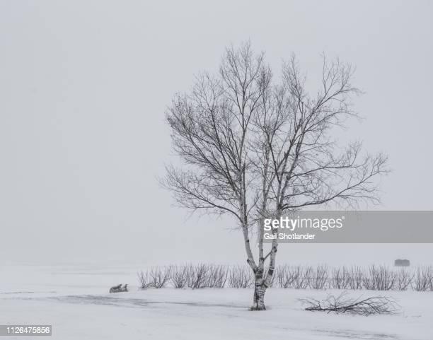 Birch in a Snowstorm
