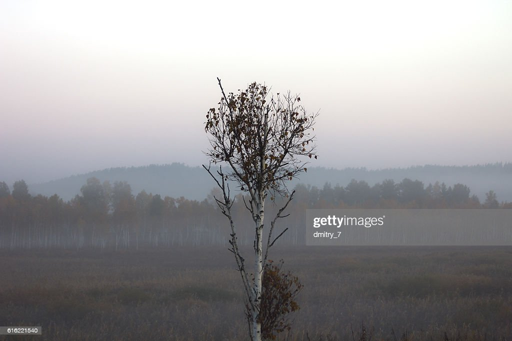 Birch in the morning mist : Stock Photo