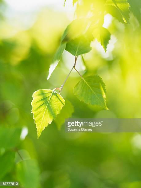 Birch leaf close-up Sweden.