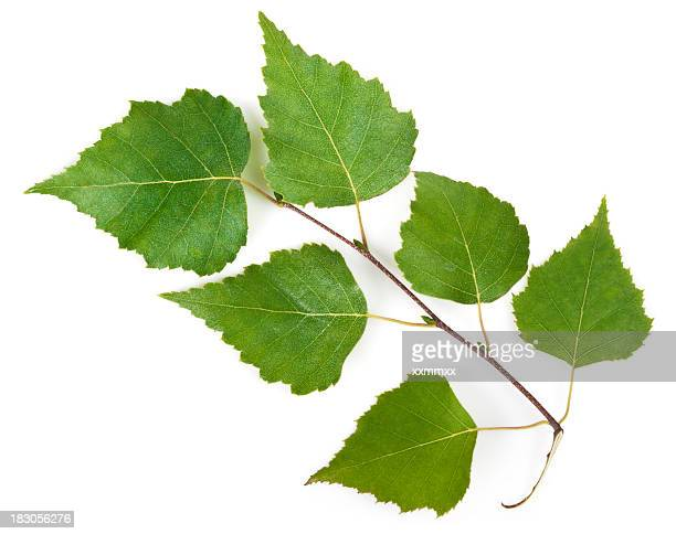 Birch leaves on a stem on a white background