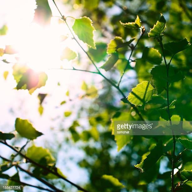 Birch Blätter