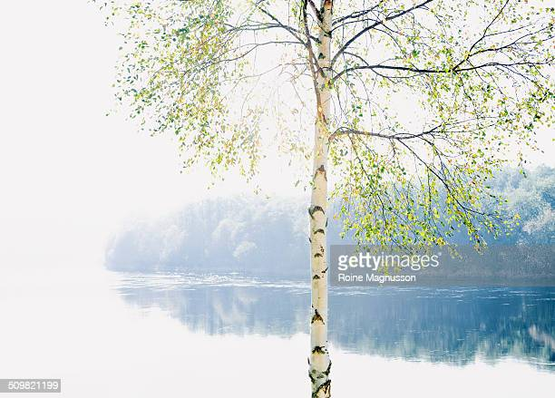 Birch tree and river