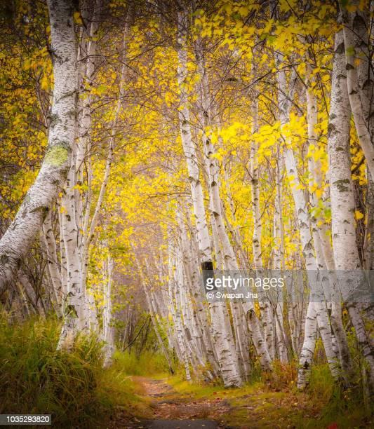 Birch Tree at Acadia National Park