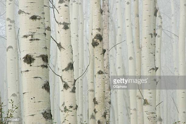 Birch tree forest in morning fog