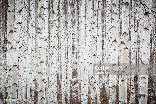 Birch tree forest in winter