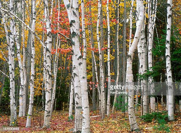 birch tree grove in autumn colors - grove_(nature) stock pictures, royalty-free photos & images
