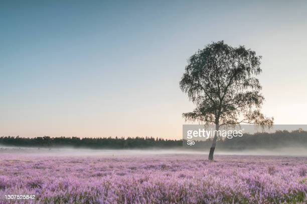 "birch tree in a field of blooming heather plants in heathland landscape during sunrise in summer - ""sjoerd van der wal"" or ""sjo"" stock pictures, royalty-free photos & images"