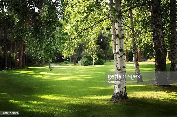 Birch tree in park