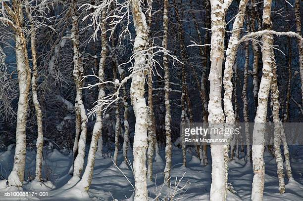 birch tree in winter - nautre stock pictures, royalty-free photos & images
