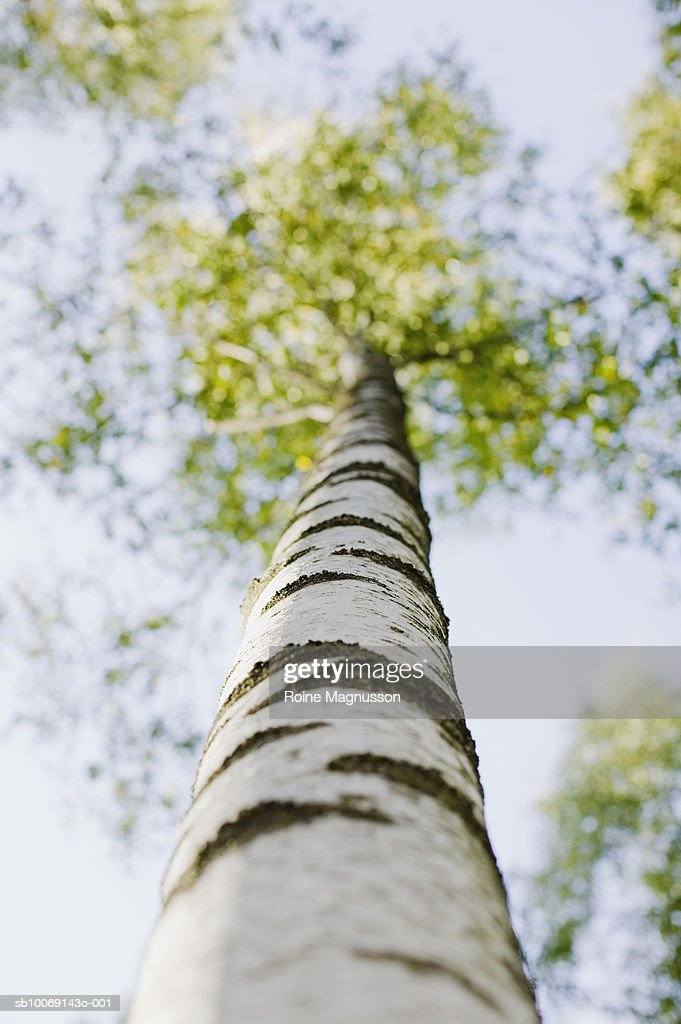Birch tree, low angle view : Stockfoto
