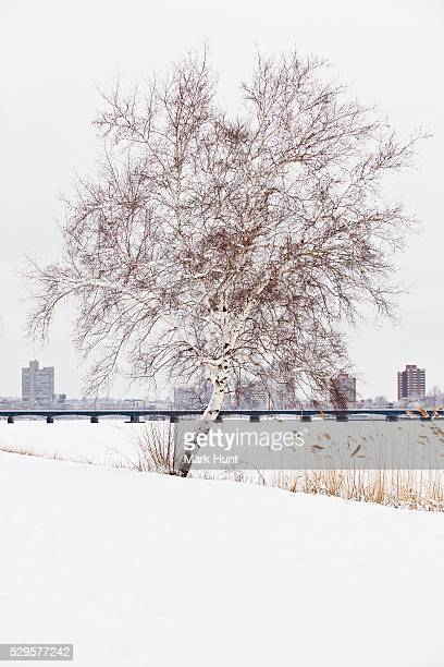 Birch tree on the esplanade with Charles River and Harvard Bridge in the background, Boston, Massachusetts, USA