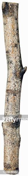 birch tree on white