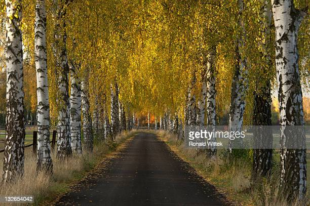 birch tree - reise stock pictures, royalty-free photos & images