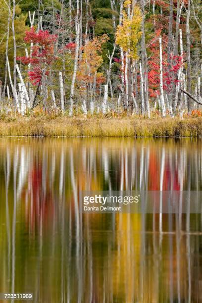 birch trees and autumn colors reflected on red jack lake, hiawatha national forest, upper peninsula of michigan, usa - hiawatha national forest stock pictures, royalty-free photos & images