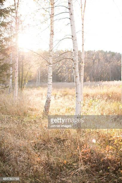 Birch trees at autumn