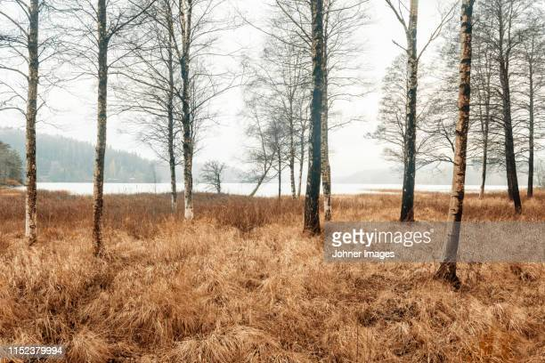 birch trees at lake - bare tree stock pictures, royalty-free photos & images