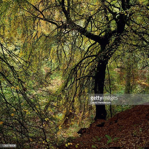 Birch (Betula) trees, Birks of Aberfeldy, Scotland