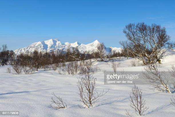 Birch trees covered with snow in a winter landscape in the Lofoten