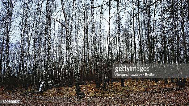 Birch Trees Growing In Forest