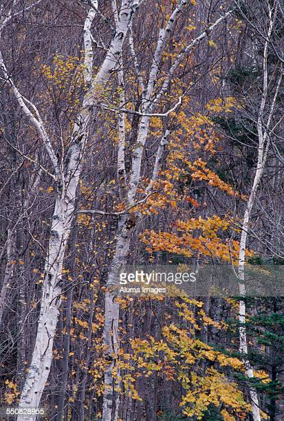 birch trees in autumn - crawford notch stock pictures, royalty-free photos & images