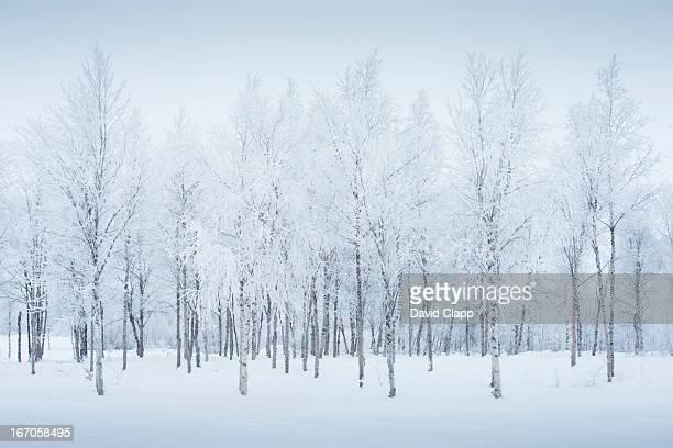 Birch trees in the snow, Kiruna, Sweden