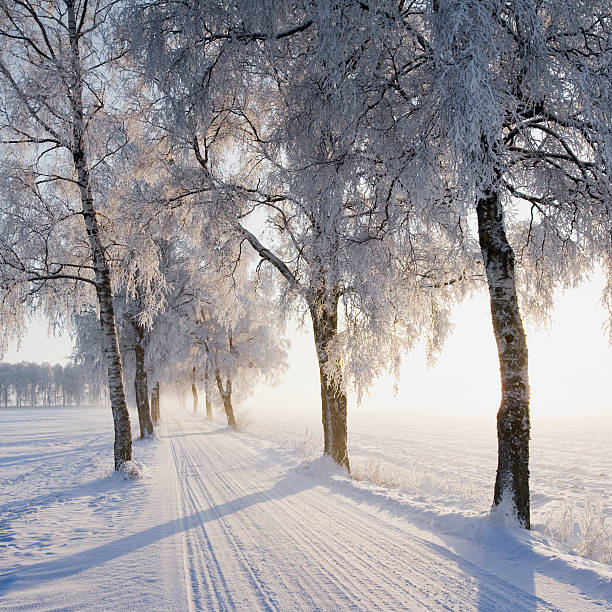 Birch Trees Lining Snow-covered Road Wall Art