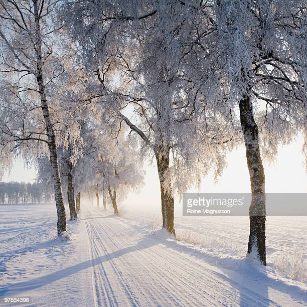 Birch trees lining snow-covered road