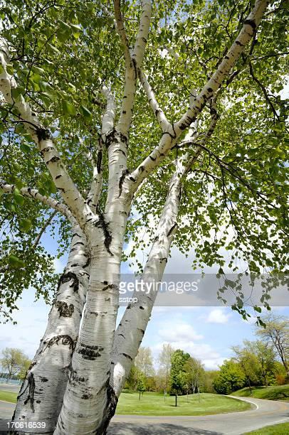 Birch Trees & Park