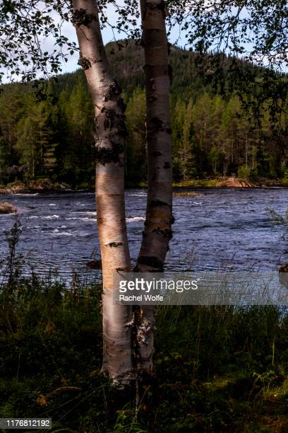 birch trees - rachel wolfe stock pictures, royalty-free photos & images