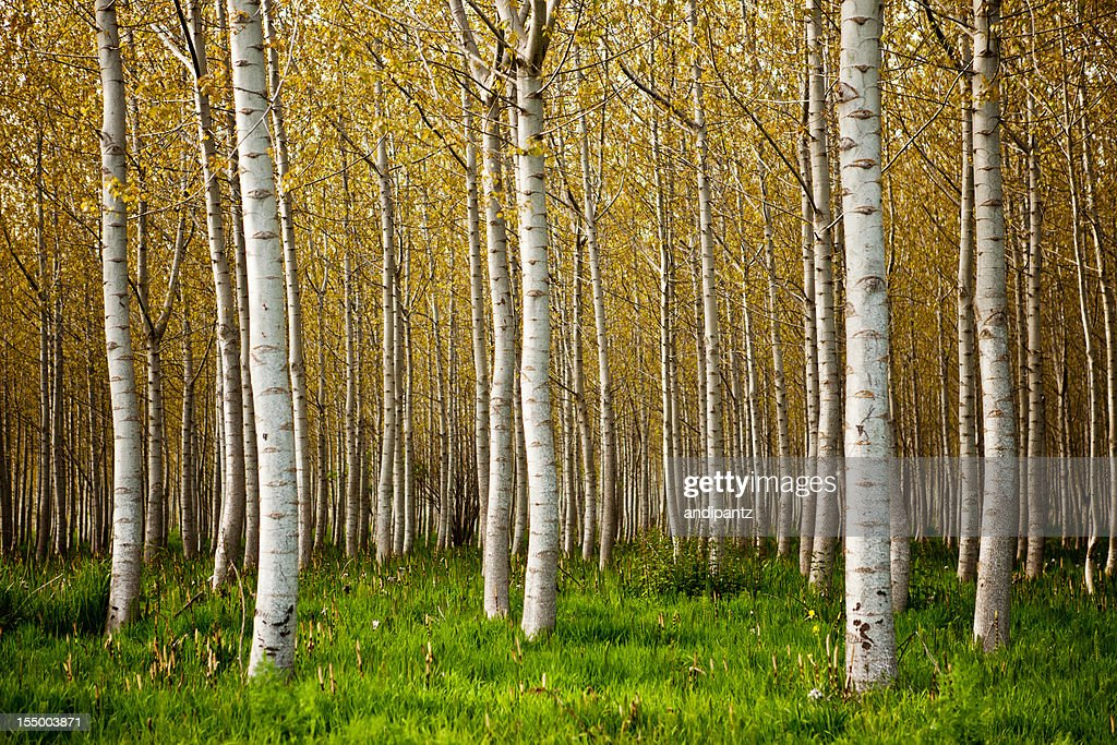 birch tree stock photos and pictures getty images