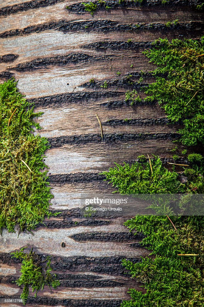 Birch trunk with moss on it : Foto stock