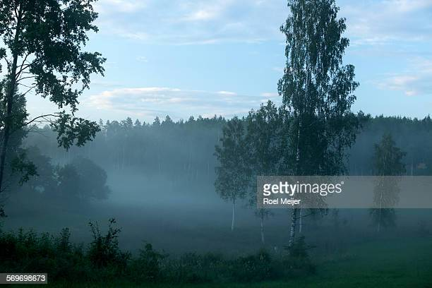 birch valley with evening mist - dalsland stock photos and pictures
