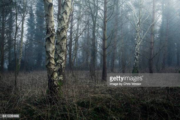 birch wood - ominous stock photos and pictures