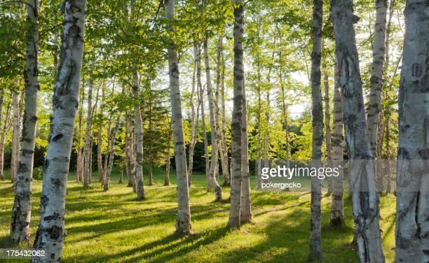 Birke Wald Habitat