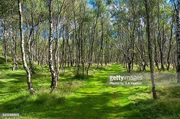 Birch woods at Bolehill quarry
